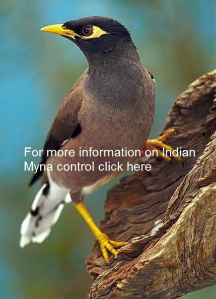 indian-myna